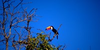 Tucan, Yacitinga Lodge, Argentina