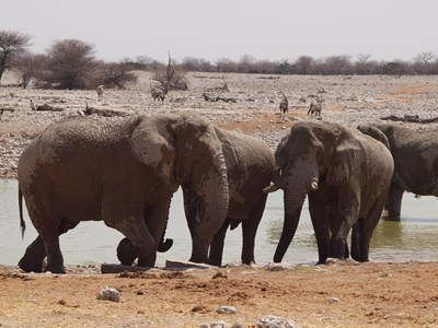 Elefanter i vandhul, Etosha nationalpark